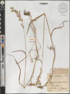 Trisetum fuscum
