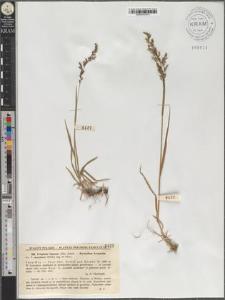 Trisetum fuscum (Kit.) Schult.
