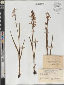 Orchis palustris Jacq.