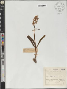 Orchis provintialis