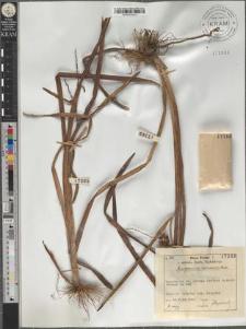 Sparganium ramosum Huds.