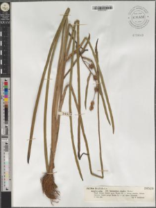Sparganium simplex Huds.