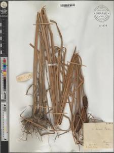 Typha laxmannii Lepechin