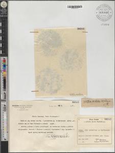 Wolffia arrhiza (L.) Wimm.