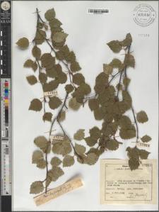 Betula pubescens Ehrh. subsp. carpatica (Willd.) Asch. et Graebn.
