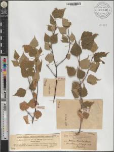 Betula pendula Roth subsp. obscura (Kotula) Löve