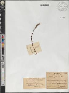 Betula pendula var. oycowiensis (Besser) Dippel