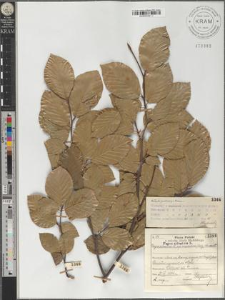 Fagus sylvatica L. subsp. moesiaca (Malý) Szafer