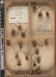 Fagus sylvatica L. var. longipedunculata Raciborski