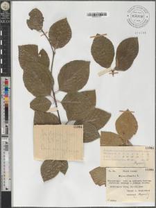 Fagus silvatica L.