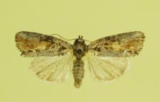 Bryophila raptricula (Denis & Schiffermüller, 1775)