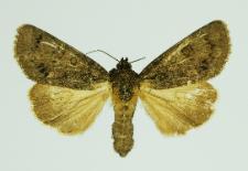 Acronicta rumicis (Linnaeus, 1758)