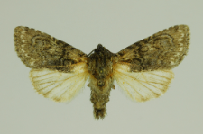 Acronicta euphorbiae (Denis & Schiffermüller, 1775)