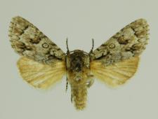 Acronicta auricoma (Denis & Schiffermüller, 1775)