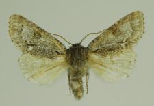 Acronicta menyanthidis (Esper, 1789)