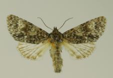 Acronicta megacephala (Denis & Schiffermüller, 1775)