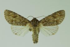 Acronicta aceris (Linnaeus, 1758)