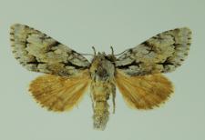Acronicta cuspis (Hübner, 1813)