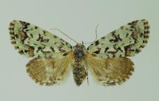 Moma alpium (Osbeck, 1778)