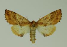 Ptilodon capucina (Linnaeus, 1758)