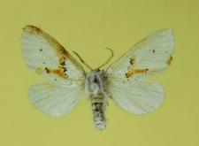 Leucodonta bicoloria (Denis & Schiffermüller, 1775)