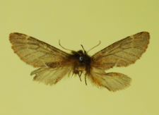 Ptilophora plumigera (Denis & Schiffermüller, 1775)