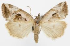 Elaphria venustula