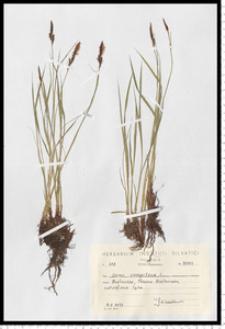 Carex cespitosa L.