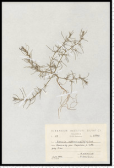 Salsola kali L. subsp. ruthenica (Iljin) Soó