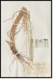 Carex spicata Huds.