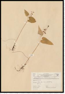 Maianthemum bifolium (L.) F. W. Schmidt