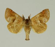 Clostera pigra (Hufnagel, 1766)