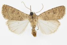 Caradrina clavipalpis