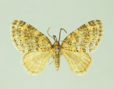Acasis appensata (Eversmann, 1842)