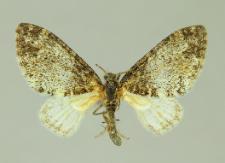 Lobophora halterata (Hufnagel, 1767)