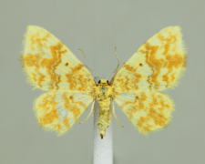 Hydrelia flammeolaria (Hufnagel, 1767)