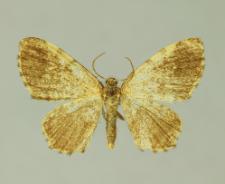 Euchoeca nebulata (Scopoli, 1763)
