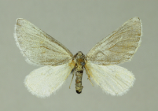 Lithostege farinata (Hufnagel, 1767)