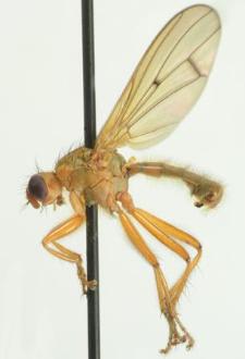 Scathophaga suilla (Fabricius, 1794)