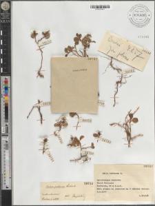 Salix polaris Wahlenb.