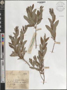 S[alix] rosmarinifolia L.