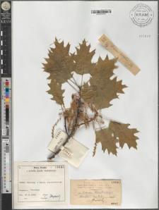 Quercus borealis