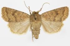 Hoplodrina octogenaria