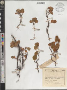 S[alix] herbacea L.