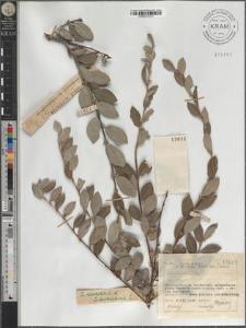 S[alix] cinerea L. × arenaria L.