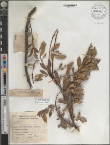S[alix] Kitaibeliana Willd.
