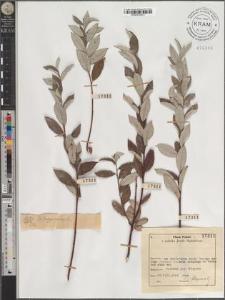S[alix] lapponum L.