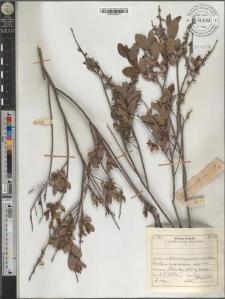 S[alix] myrtilloides