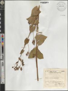 Fagopyrum tataricum (L.) Gaertn.