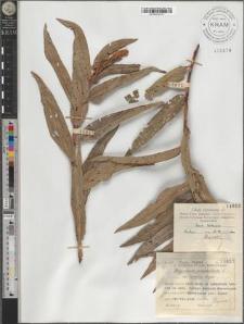 Polygonum amphibium L. var. terrestre Leyss.